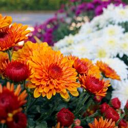 chrysanthemums_3-1